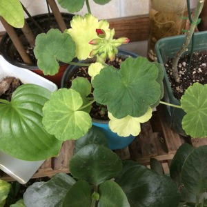 天竺葵为啥一部分叶子发黄