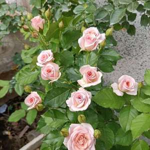 求大神识别这颗是什么月季花?多头四季勤花中香~浓香茶香水果香,秋冬季花开十厘米,夏天花朵两厘米,叶子油亮抗病,直立性好。