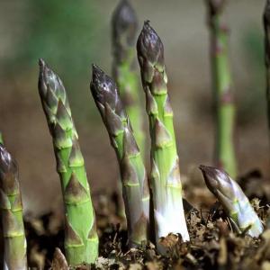 Asparagus Plant Profile