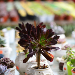 Succulent maintenance:Aeonium arboreum