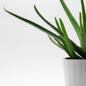 How to Grow Aloe Vera Indoors