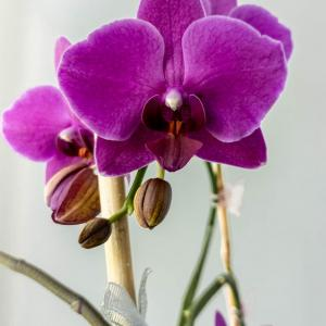 Top six mistakes when growing orchids
