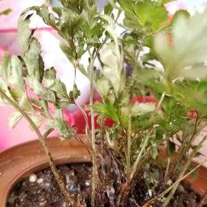 年前买了两种蕨类,过年期间经常浇水温度也有20多度,可是叶子都枯死了,想请问懂的人是什么原因?