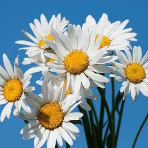 November Lucky Flower--Bellis Perennis