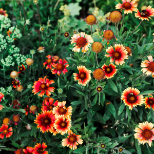 How to Grow and Care for Blanket Flower (Gallardia)