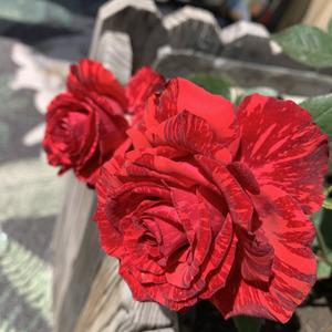 红色直觉还真是惊艳!丝绒质感的花瓣,艳丽的红色搭配深红色条纹,满满的高级感,可惜了没什么香味。这颜值果然当得起国际切花冠军(2000年)!阳光下的热烈,像极了爱情💓