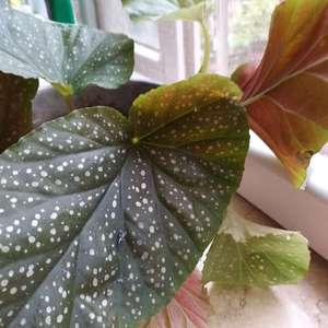 这是什么品种的海棠?