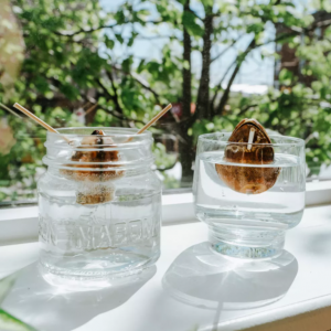 How to Grow an Avocado Plant Indoors