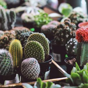 How to grow cactus plants