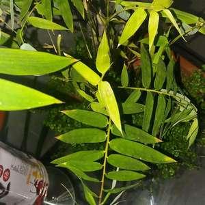 老师们,小米竹新叶黄,还有斑点。 劳烦行家解惑。