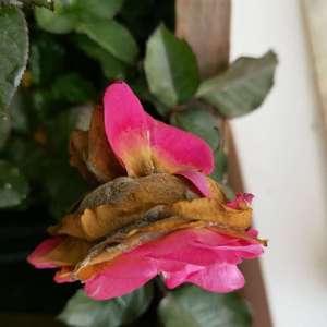 新买的玫瑰花,种下没有1周就败花,、黄叶,是什么问题呢?