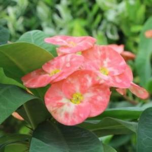 铁海棠的养殖方法和注意事项