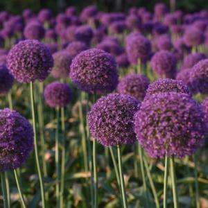 Ambassador Allium Plant Profile