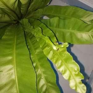 我的鸟巢蕨得了什么病,还是有虫?还是怎么了,观叶的,都快没叶了