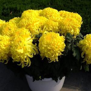 盆栽菊花的养殖方法和注意事项有哪些