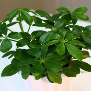 室内养鸭脚木保持叶子翠绿的经验