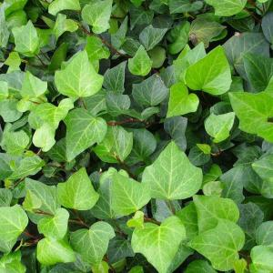 常春藤枯萎、黄叶的三个常见原因与解决方法