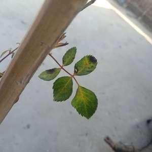 求助,月季叶子发黄,叶片出现黑点,主要表现在新叶。是病了还是水肥的问题?该怎么办呐?