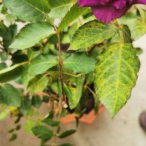 刚种下第二天的月季叶子就生病了。请问这月季生了什么病?买来的时候就有轻微病变。