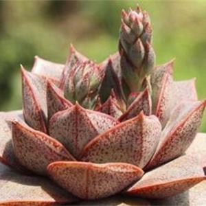 大和锦有什么作用,盆栽观赏还能净化空气