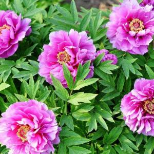 How to Grow Peonies in Containers