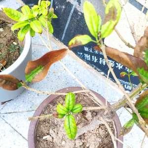 请问我家的桂花怎么新发的叶子直接都焦了,老叶子这两天也是迅速变焦脱落。