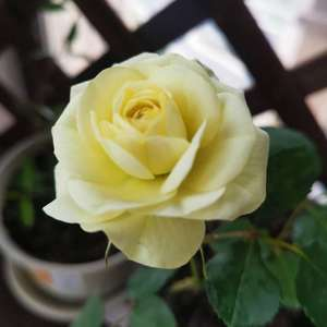 月季终于开出了第一朵花,一枝独秀。 蓝目菊终于有了新的花苞,还是露薇开起来比较多,不过也谢的差不多了。其他依旧是老样子,除了长疯了的薄荷
