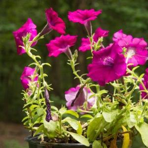 How to Protect Petunias from Frost