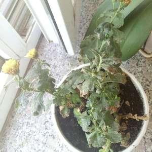别人送的小雏菊和蝴蝶兰,感觉有些干了。头一次养花,不知道怎么养,麻烦大神指教一二。谢谢!