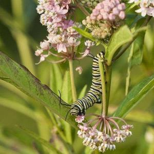How to Take Care of Milkweed Plants