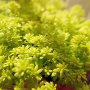 如何养殖黄金万年草:少点水,加大光照