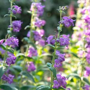 How to Grow and Care for Beardtongue Flowers (Penstemon)