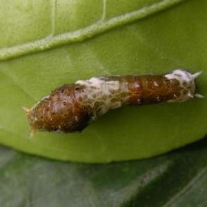 果树类虫害:达摩凤蝶