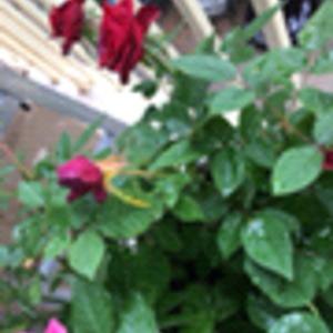 玫瑰花花杆子变黄是怎么了?土壤不干