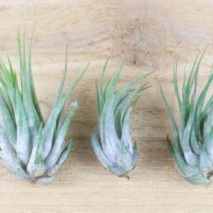 How to Grow Tillandsia Kolbii