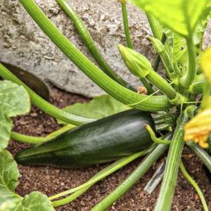 When to Pick a Zucchini