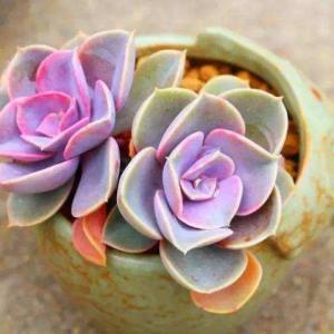 粉彩莲如何养殖:夏季注意遮阴通风,不能长期淋雨