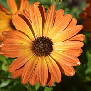 How to Grow the African Daisy