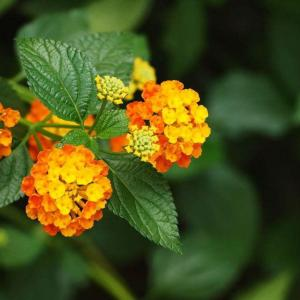 Should I Plant Lantana Plant in Spring or Fall?