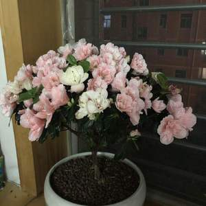 这花是杜鹃吧?