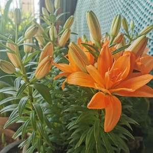 亚百小惊喜,感觉和去年的小重影没啥差别,橙色都长得好,粉色的又开始消苞了