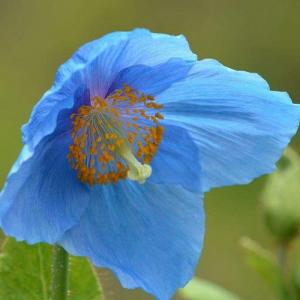 How to Grow Himalayan Blue Poppy