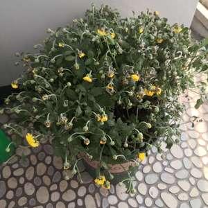 求助大神,刚买回来的菊花,换了一个盆,然后就焉了,定根水浇了,底肥也给了的