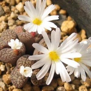 夏季怎样给生石花浇水:入夏温度超过35°C时停止浇水