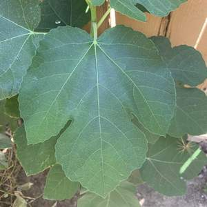 Wondering what this is? Fig tree?