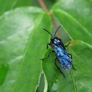 竹类虫害:毛竹黑叶蜂