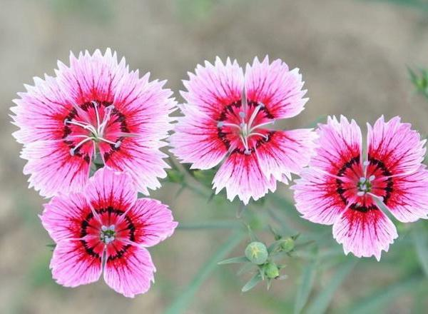 How to Keep Dianthus Blooming