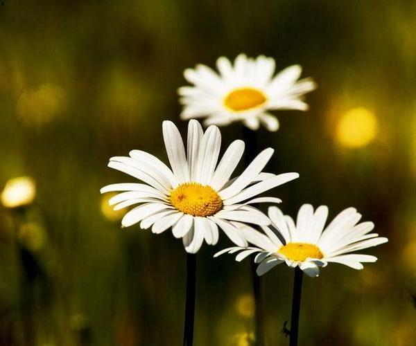 How to Transplant Daisies