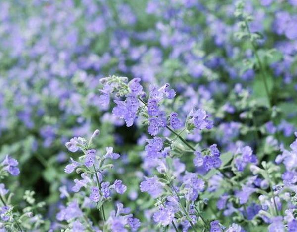 Purple Perennial Flower Identification