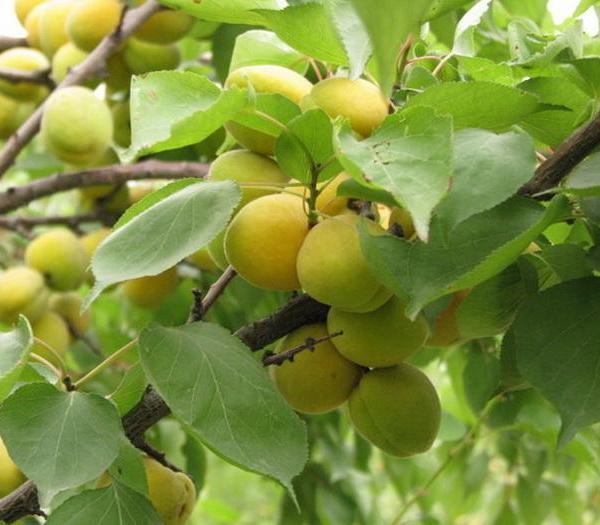 果树类虫害:杏仁蜂